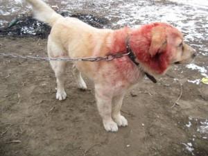 Megkínzott kutyus